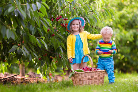 frutas divertidas: Kids picking cherry on a fruit farm. Children pick cherries in summer orchard. Toddler kid and baby eat fresh fruit from garden tree. Girl and boy eating berry in a basket. Harvest time fun for family