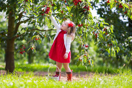 Kids picking cherry on a fruit farm. Children pick cherries in summer orchard. Toddler kid eating fresh fruit from garden tree. Little farmer girl with berry in a basket. Harvest time fun for family Stock Photo