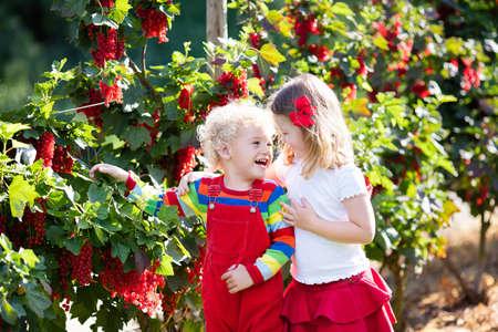 niños comiendo: Niña y niño recogiendo bayas maduras frescas procedentes de grosellero rojo en el jardín de verano soleado. la nutrición saludable para los niños. Bio fruta para los niños.