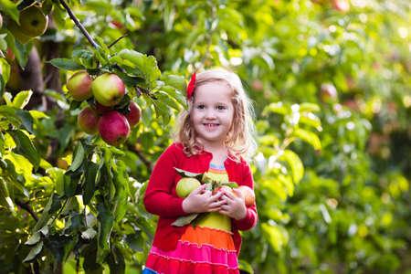 niña comiendo: Niño recogiendo manzanas en una granja en otoño. Niña que juega en el huerto manzano. Los niños recogen la fruta en una cesta. Niño que come las frutas en la cosecha de otoño. Diversión al aire libre para los niños. Nutrición saludable. Foto de archivo