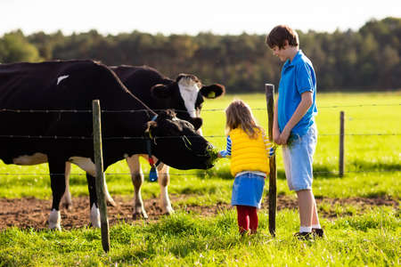 school age boy: Happy kids feeding cows on a farm. Little girl and school age boy feed cow on a country field in summer. Farmer children play with animals. Child and animal friendship. Family fun in the countryside.