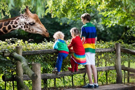 safari animal: Group of children, school student, little toddler boy and preschool girl watching and feeding giraffe animals at the zoo on sunny summer day. Wildlife experience for kids at animal safari park.
