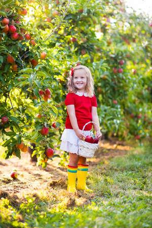 comiendo frutas: Niño recogiendo manzanas en una granja en otoño. Niña que juega en el huerto manzano. Los niños recogen la fruta en una cesta. Niño que come las frutas en la cosecha de otoño. Diversión al aire libre para los niños. Nutrición saludable. Foto de archivo