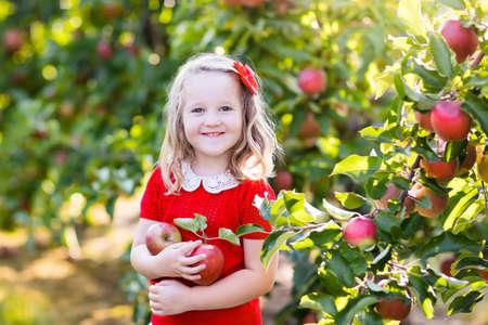 niños comiendo: Niño recogiendo manzanas en una granja en otoño. Niña que juega en el huerto manzano. Los niños recogen la fruta en una cesta. Niño que come las frutas en la cosecha de otoño. Diversión al aire libre para los niños. Nutrición saludable. Foto de archivo