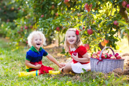 eating fruits: Child picking apples on a farm in autumn. Little girl and boy playing in apple tree orchard. Kids pick fruit in a basket. Toddler eating fruits at harvest. Outdoor fun for children. Healthy nutrition. Stock Photo