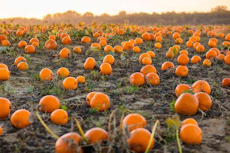 Schöne Kürbisfeld in Deutschland, Europa. Halloween-Kürbisse auf dem Bauernhof. Pumpkin Patch an einem sonnigen Herbstmorgen während Thanksgiving Zeit. Bio-Gemüseanbau. Erntezeit im Oktober.