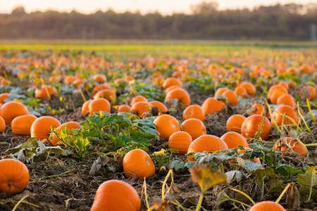 Schöne Kürbisfeld in Deutschland, Europa. Halloween-Kürbisse auf dem Bauernhof. Pumpkin Patch an einem sonnigen Herbstmorgen während Thanksgiving Zeit. Bio-Gemüseanbau. Erntezeit im Oktober. Standard-Bild