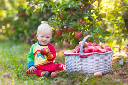 frutas divertidas: Child picking apples on a farm in autumn. Little baby boy playing in apple tree orchard. Kids pick fruit in a basket. Toddler eating fruits at fall harvest. Outdoor fun for children. Healthy nutrition