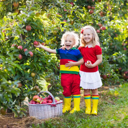 niños sanos: Child picking apples on a farm in autumn. Little girl and boy playing in apple tree orchard. Kids pick fruit in a basket. Toddler eating fruits at harvest. Outdoor fun for children. Healthy nutrition. Foto de archivo