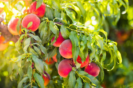 owning: Ripe tasty peach on tree in sunny summer orchard. Pick you own fruit farm with tree ripen freestone peaches.