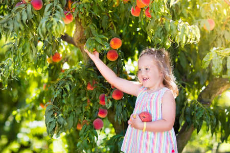 ripen: Little girl picking and eating fresh ripe peach from tree on organic pick own fruit farm. Kids pick and eat tree ripen peaches in summer orchard. Child playing in peach garden. Healthy food for kid.