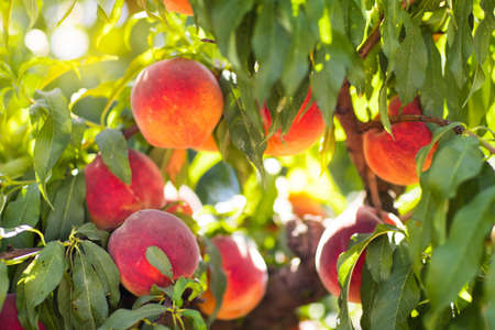 ripen: Ripe tasty peach on tree in sunny summer orchard. Pick you own fruit farm with tree ripen freestone peaches. Delicious and healthy organic nutrition. Beautiful garden with tree ripened nectarines.