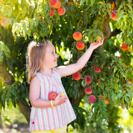 Little girl picking and eating fresh ripe peach from tree on organic pick own fruit farm. Kids pick and eat tree ripen peaches in summer orchard. Child playing in peach garden. Healthy food for kid.