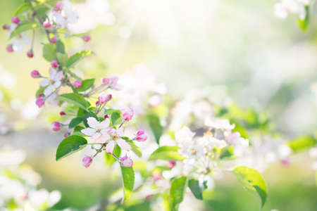 Blooming cherry blossom. Beautiful sunny garden with cherry and apple trees. Spring flowers in bloom. Fruit orchard with white and pink flower branches. Nature beauty. Banco de Imagens