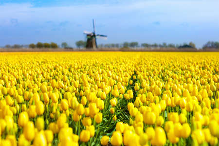 Tulip fields and windmill in Holland, Netherlands. Blooming flower fields with red and yellow tulips in Dutch countryside. Traditional landscape with colorful flowers and windmills. 스톡 콘텐츠