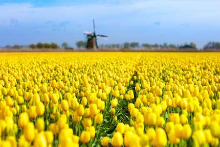 Campos de tulipanes y molino de viento en Holanda, Países Bajos. Campos de flores florecientes con tulipanes rojos y amarillos en la campiña holandesa. Paisaje tradicional con coloridas flores y molinos de viento.