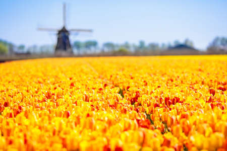 Tulip fields and windmill in Holland, Netherlands. Blooming flower fields with red and yellow tulips in Dutch countryside. Traditional landscape with colorful flowers and windmills. Фото со стока