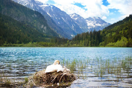 Swan nest in Austrian Alps mountain lake. Mother bird with little baby learning to swim. Wild swans during spring time.