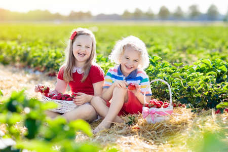 Kids picking strawberry on fruit farm field on sunny summer day.