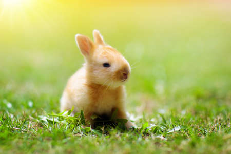 Baby rabbit eating grass outdoor on sunny summer day. Easter bunny in garden. Home pet for kid. Cute pets and animals for family with children.