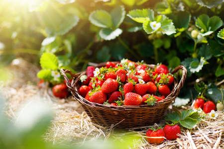 Champ de fraises à la ferme fruitière. Fraise biologique mûre fraîche dans un panier blanc à côté de lit de fraises sur choisissez votre propre plantation de baies