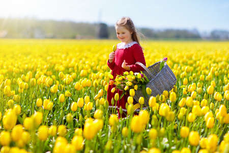 Child in yellow tulip flower field. Blooming garden in Holland, Netherlands. Little girl in tulips farm. Kid with basket picking fresh flowers on sunny spring day. Dutch landscape. Imagens