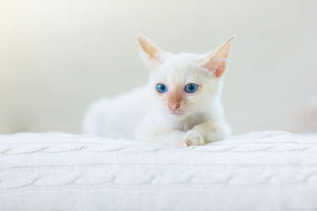 Baby cat. White kitten sleeping in couch with knitted blanket. Domestic animal. Home pet. Young cats. Banco de Imagens