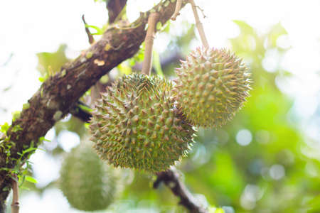 Durian growing on tree. Exotic tropical fruits of Thailand and Malaysia. King of fruit. Delicious ripe durians on organic farm in South East Asia.