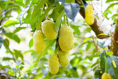 Jackfruit growing on tree. Tropical fruit of Thailand and Malaysia. Exotic healthy jack fruits on organic farm.