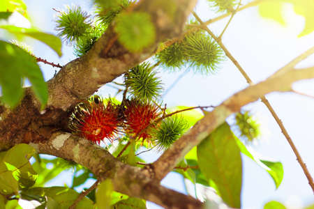 Rambutan growing on tree. Tropical fruit of Thailand and Malaysia. Exotic healthy rambutans on organic farm. 写真素材 - 126191959