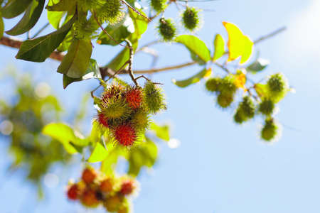 Rambutan growing on tree. Tropical fruit of Thailand and Malaysia. Exotic healthy rambutans on organic farm. Stock Photo