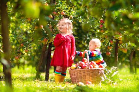 Kinderen plukken rijpe rode appels uit de boom in de boerderij op een zonnige herfstdag. Jongen en meisje plukken fruit in appelboomgaard. Kind met mand. Kind plezier tijdens de oogsttijd. Kinderen spelen buiten.