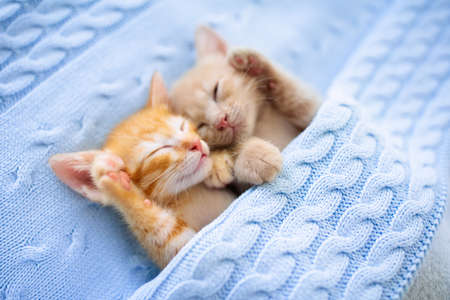 Baby cat sleeping. Ginger kitten on couch under knitted blanket. Two cats cuddling and hugging. Domestic animal. Sleep and cozy nap time. Home pet. Young kittens. Cute funny cats at home. Reklamní fotografie