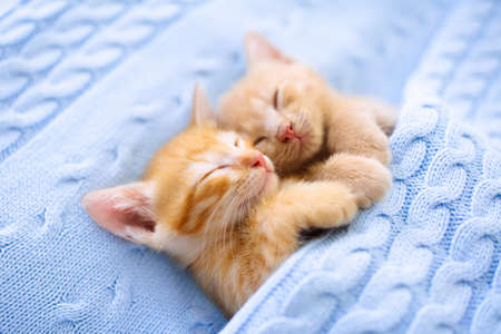 Baby cat sleeping. Ginger kitten on couch under knitted blanket. Two cats cuddling and hugging. Domestic animal. Sleep and cozy nap time. Home pet. Young kittens. Cute funny cats at home. Foto de archivo