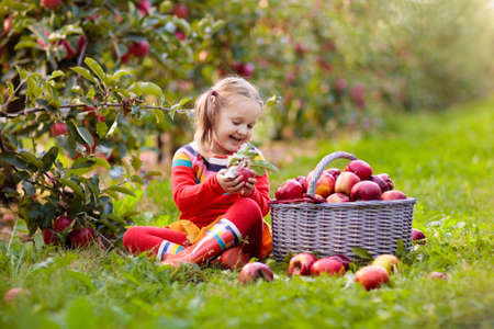 Kids pick and eat apple on a farm in autumn. Little girl playing in orchard. Kids with fruit in a basket. Toddler at fall harvest. Outdoor fun. Healthy nutrition.