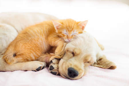 Cat and dog sleeping together. Kitten and puppy taking nap. Home pets. Animal care. Love and friendship. Domestic animals. Stock Photo