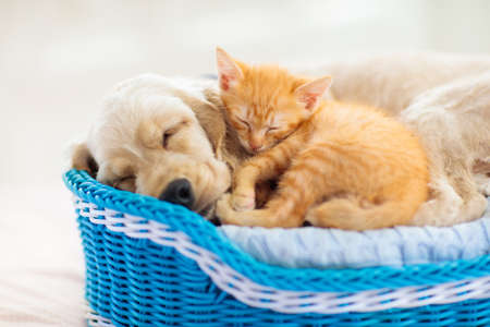 Child playing with baby dog and cat. Kids play with puppy and kitten. Little boy and American cocker spaniel on bed at home. Children and pets at home. Kid taking nap with pet. Animal care. Stock Photo