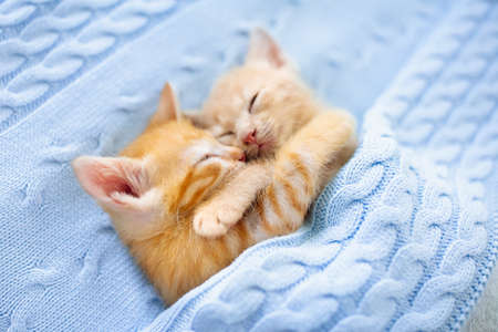 Baby cat sleeping. Ginger kitten on couch under knitted blanket. Two cats cuddling and hugging. Domestic animal. Sleep and cozy nap time. Home pet. Young kittens. Cute funny cats at home. Stock Photo