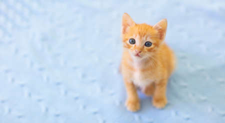 Baby cat. Ginger kitten playing on couch with knitted blanket. Domestic animal. Home pet. Young cats. Cute funny cats play at home. Banco de Imagens