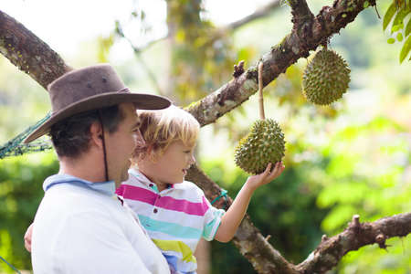 Durian growing on tree. Father and son picking exotic tropical fruits of Thailand and Malaysia. King of fruit. Man and child watching ripe durians on organic farm in South East Asia. Travel with kids