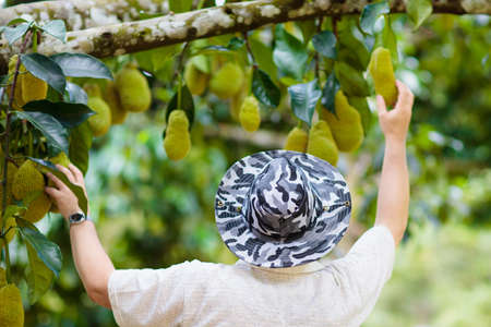 Jackfruit growing on tree. Farmer picking exotic tropical fruits of Thailand and Malaysia. Man watching ripe jack fruits on organic farm in South East Asia.