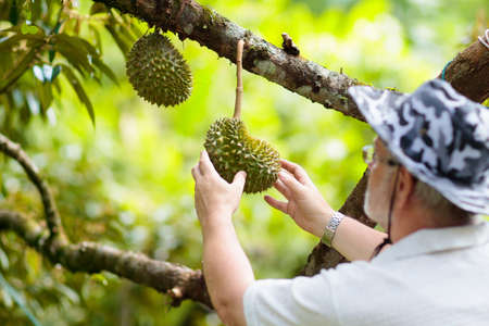 Durian growing on tree. Farmer picking exotic tropical fruits of Thailand and Malaysia. King of fruit. Man watching ripe durians on organic farm in South East Asia.