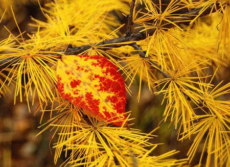 aspen leaf: aspen leaf on a branch of larch