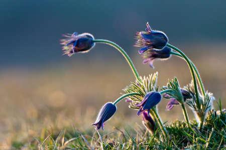 pulsatilla: Flowers in sunset - pulsatilla