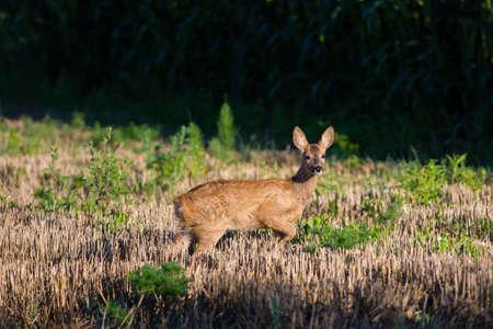 roebuck: Roe deer in the field
