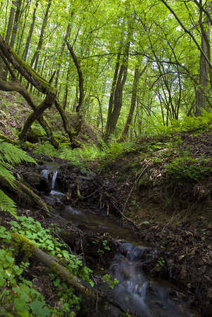 brushwood: Natural forest landscape with small creek and mossy trunks