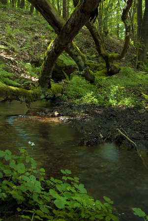 biotope: Natural forest landscape with small creek and mossy trunks