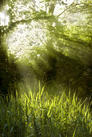 shining through: raggi solari luminosi splende attraverso un albero alto Archivio Fotografico