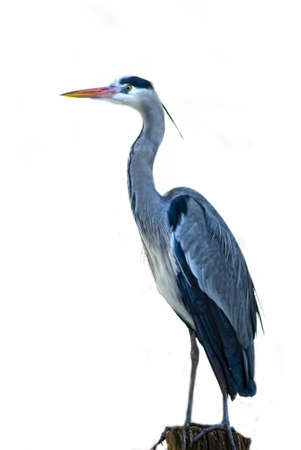 ardea cinerea: Grey Heron (Ardea cinerea) cut out