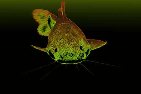 redtail:   redtail catfish (Phractocephalus hemioliopterus) frontal in Retro look